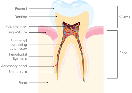 Tooth-Basics-V3-062012